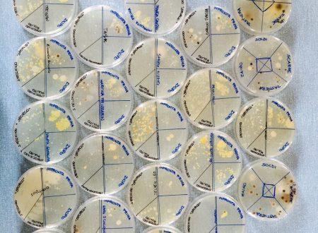 Coltura batterica su piastra Petri